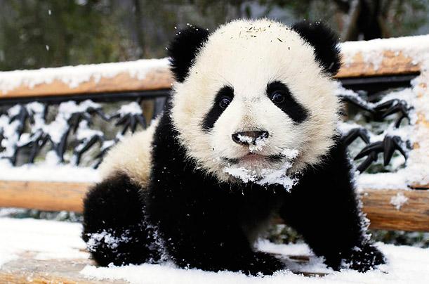 buy a panda hat the panda hat site. Black Bedroom Furniture Sets. Home Design Ideas